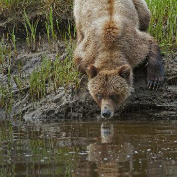 Khutzeymateen Grizzly Bear: Bill Bickle