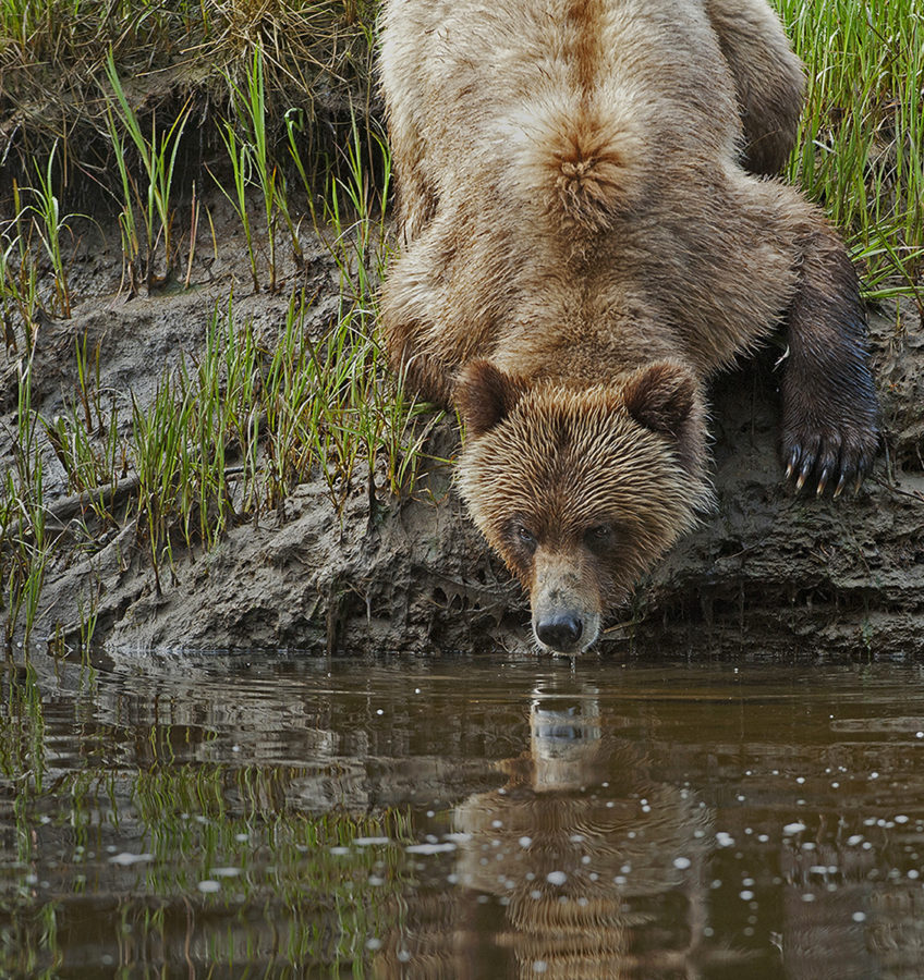 Grizzly Bear (Ursus arctos horribilis) Khutzeymateen Grizzly Bear Sanctuary British Columbia Canada,  Hand Held in Zodiac boat, Heavy Rains, Zero degre temperatures, Overcast sky, young Female Grizzly,  watching for aggressive male Grizzly, No Bait Used, Wild Grizzly Bear