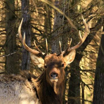 Elk Viewing With The Quinte Field Naturalists: Ted Pordham