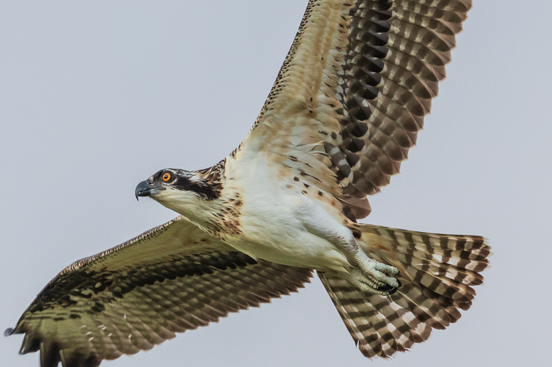 osprey flying